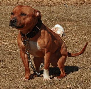 Gamestaff Staffordshire Bull Terriers